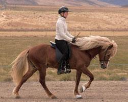 photo : Association des Eleveurs de Chevaux d'Islande