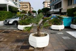 21 Palme/Palm