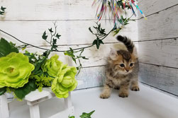 アメリカンカールの子猫販売【関東・埼玉】ブリーダー直営