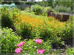 Lila Veilchen wild im Garten von AMARELLA Räucherwerk