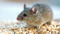 Dératisation dans le vaucluse, traitement contre les souris, orange, avignon, bollène, 84, gard, drome, ardeche