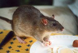 Dératisation dans le Vaucluse, traitement contre les rats, orange, Avignon, Bollène, 84, Gard, Drome, Ardèche