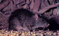 Dératisation dans le vaucluse, traitement contre les rats des greniers, orange, avignon, bollène, 84, gard, drome, ardeche
