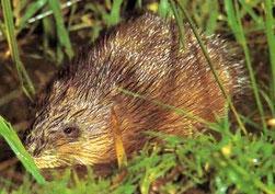 Dératisation dans le vaucluse, traitement contre les rats musqué, orange, avignon, bollène, 84, gard, drome, ardeche