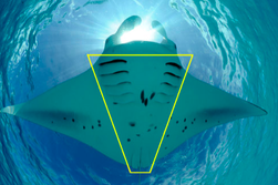 Galapagos Shark Diving - Manta pattern