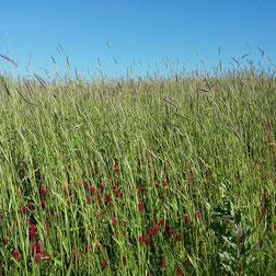 Prairies et cérérales pour la ferme COUTANT And Cow à Mauléon 79