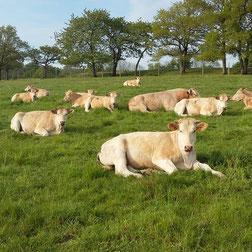 Les vaches de la ferme COUTANT And Cow à Mauléon 79