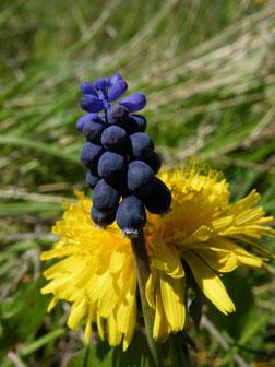 Weinbergs-Traubenhyazinthe, Muscari racemosum