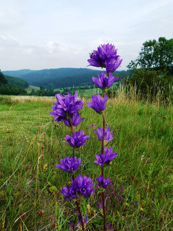 Knäuel-Glockenblume, Campanula glomerata