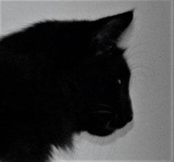 Chat des Forêts Norvégiennes noir - chatterie des Glières
