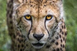 la tête d'un guépard de face du gite de Peaugres à découvrir par le gite de la gorre en location en ardeche
