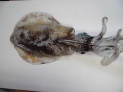 アオリイカに包丁を入れる写真