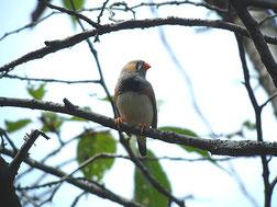 ・2008年9月14日 水元公園    ・ツツドリを待っていると、背中が茶色い小さな鳥が近くの桜の樹にとまった。 サンコウチョウにしては小さい! 何やら、嘴が赤くて変だと思いつつシャターを切った。 近くにいた人から「何、撮っているの?」と尋ねられたが、逆光のため見分けができず 「ソウシチョウ」と答えてしまった。