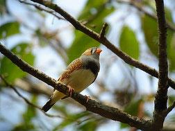 ・2008年9月14日 水元公園  ・飼い鳥が逃げ出したものと思われる。