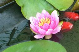 金魚と開花