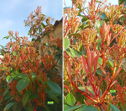 Glänzender roter Blattaustrieb im Frühjahr nebst grünen älteren Blätter einer Glanzmispel im Frühlings-Sonnenschein von K.D. Michaelis