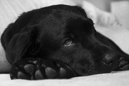 Tête d'un chien labrador noir couché sur ses pattes avant par coach canin 16 educateur canin en charente