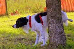 Un chien setter noir et blanc fait pipi contre un tronc d'arbre pour un marquage urinaire par coach canin 16 dressage chien charente