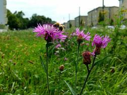 Blumenwiese in der Stadt Bienenretter