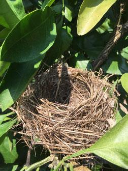 鳥の巣(みかんの木)Nest of the bird