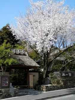 4月 山桜 と 茅葺き門