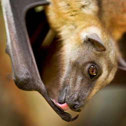 Flying Fox Bat, Bat facts, bats for kids