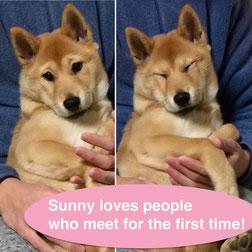 山陰柴犬のSunny