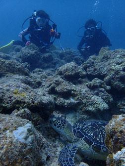 石垣島でのんびりダイビング「アオウミガメお昼寝中」