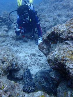 石垣島で初心者ダイビング「ウミガメに遭遇」ヒートハートクラブ