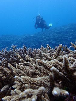 石垣島でのんびりダイビング「珊瑚礁」ヒートハートクラブ