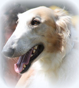 Barsois im Seniorenalter! Unsere Barsois und Deerhounds bleiben bis zum Lebensende im Hause Alshamina! Barsoi Züchterin Nadja Koschwitz aus Bauler/DE!