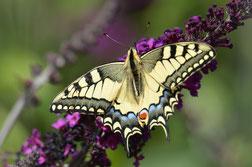 Schwalbenschwanz ((Papilio machaon) Ritterfalter  Foto: P. Britz