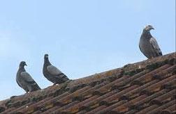 Systèmes anti pigeons dans le vaucluse, traitement, lutte contre les pigeons, orange, avignon, bollène, 84, gard, drome