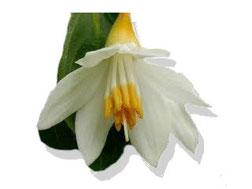 Flor del Benjui