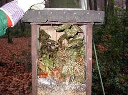 Hohltaubenkasten - unten das Taubennest, oben vom Eichhörnchen eingetragenes Material.