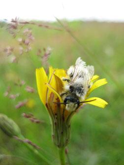 Wildbienen     haben     eine     sehr große    Bestäuberleistung   (Foto: C. Marien)