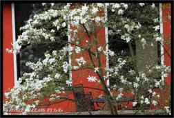 ein Sitzplatz unter der blühenden Magnolie