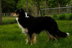 Jack - Rüde black-white-tan