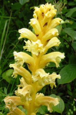 Gelbe Sommerwurz, Orobanche lutea