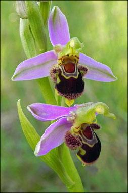 Bienenragwurz,                                          Foto: W. Busl
