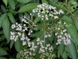 ソクズ(別名・クサニワトコ)  花には蜜がなく、黄色の杯状の腺体に蜜をためています