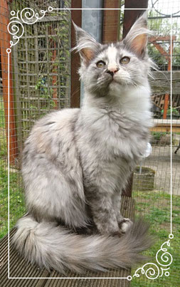 Maine Coon Katze im Garten