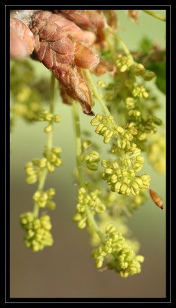 chatons de fleurs mâles du chêne