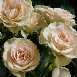 die Rose ist die Blume der Liebe und Partnerschaft - platziere sie im Baguafeld 2. Mehr dazu im SOULGARDEN Blog
