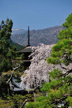 八重垣写真館さん: 山梨県南巨摩郡身延町 久遠寺のしだれ桜