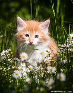 Wir verkaufen Norwegische Waldkatzen Kitten im Münchner Raum, Katzenbabys in Bayern, München, Kitten verkauf
