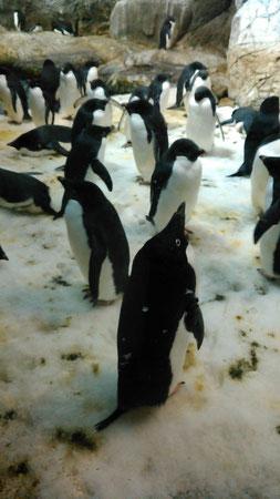 アデリーペンギン。suicaのペンギンのモデルです。