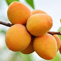 абрикос погремок купить в клину