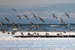 Grosse Brachvögel am Schlafplatz bei -12°C und Bise, 04.02.2012, Frasnacht TG (Foto S. Trösch)