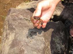 松田ダムには沢蟹もいます
